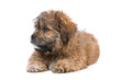 boomer puppy dog isolated on a white background
