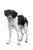 one stabyhoun dog isolated on a white background