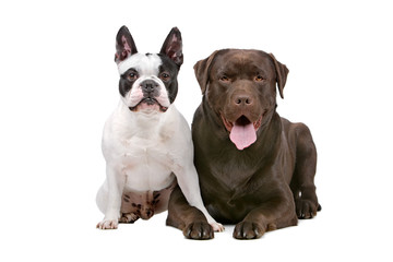 French Bulldog and a chocolate labrador isolated on white