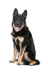 german shepherd dog sticking out tongue