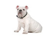 french bulldog puppy isolated on a white background