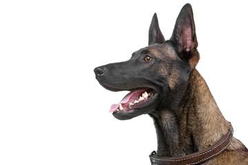 head of a belgian shepherd dog - malinois
