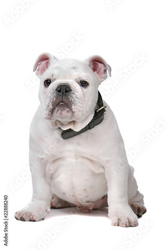front view of a french bulldog puppy
