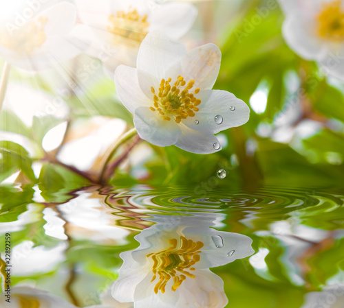 White anemone in water