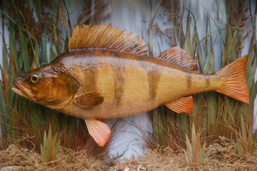 Taxidermy Fish Perch