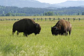 Bisons grazing in Grand Teton national park