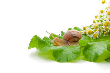 Snail creeping on leaf with a bouquet of camomiles