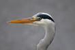 Fototapeten,graureiher,vögel,vogel,aufmerksam