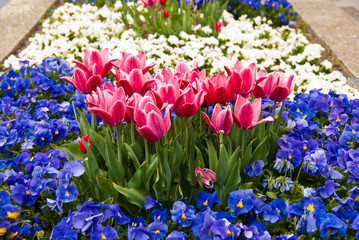 Pink tulips and blue pansy flowers on flowerbed
