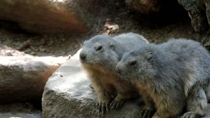 deux jolies marmottes en plein grignotage