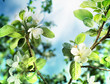 Spring Apple Blossom over blue sky