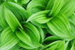 roleta: Beautiful green plant close up