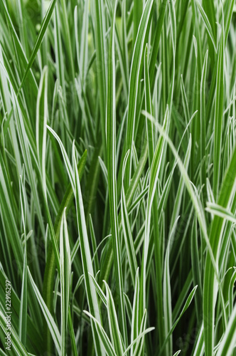 Ornamental Grass Carex
