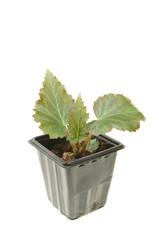 Begonia seedling