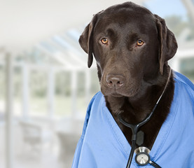 Shot of Dr Labrador with Copy Space