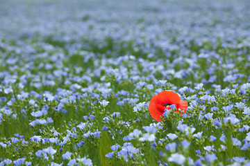 single poppy in flax field