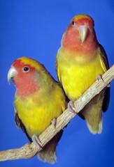 couple d'inséparables mutation jaune