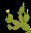 Opuntia cactus isolated on black background