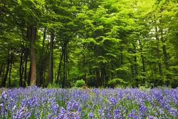 Bluebells in a woodland clearing