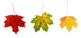 awesome colors of dry maple leaves in Autumn poster