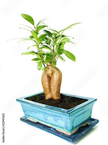 Ficus/Ginseng - Bonsai