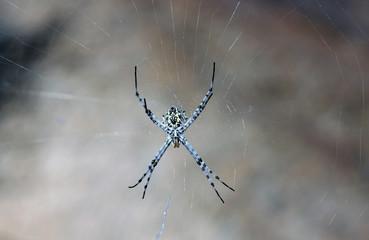 Spinne Südafrika