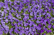 Garden bed with violet flowers on a sunny day - 22951651