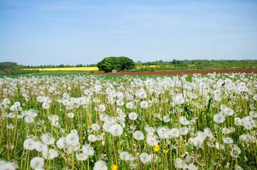 Spring field full of white Dandelion blowballs