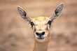 Cute young deer or antelope from a safari zoo staring at camera