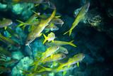 Yellowfin goatfish poster