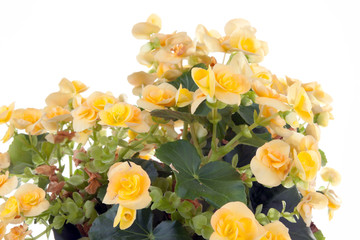 Begonia plant isolated on white