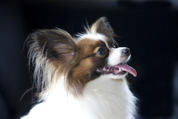 横顔の犬のパピヨン
