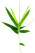 tige bambou bonheur, fond blanc