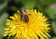 The bee collects nectar of a dandelion
