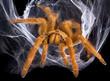 Leinwanddruck Bild - Tarantula in web