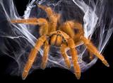 Tarantula in web
