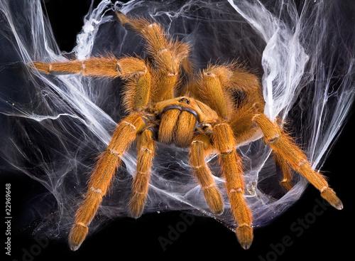 Leinwanddruck Bild Tarantula in web