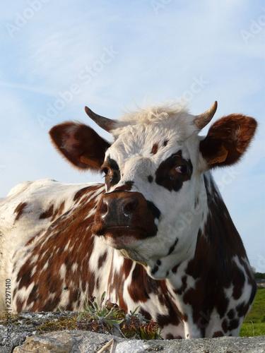 Papiers peints Vache Vache normande