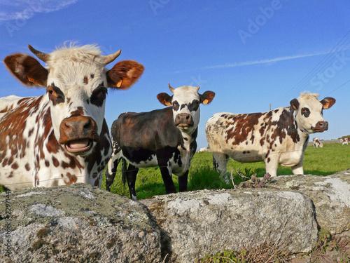 Papiers peints Vache Les normandes