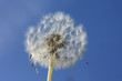 Fluffy dandelion against clear sky