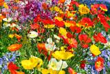 Bunte Blumenwiese mit farbigem Mohn