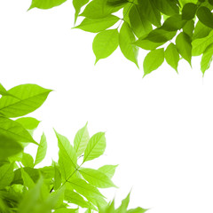 fond vert, feuilles vertes sur arrière-plan blanc, nature