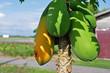 papaya fruit and tree