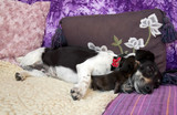 very cute three legged dog and a new born orphaned kitten poster