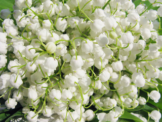 lily of the valley as floral background