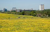 Basingstoke with buttercups