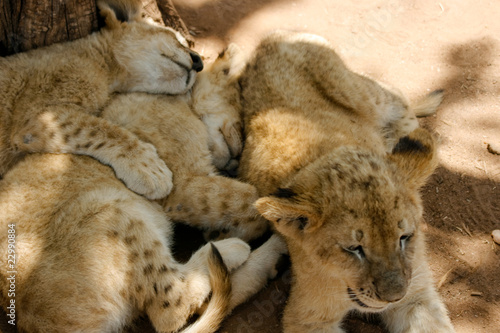 Pride of lion cubs relaxing