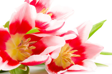 three pink tulips