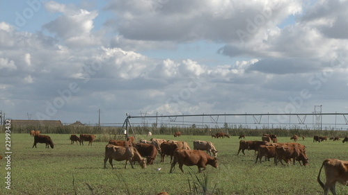Cows graze in meadow