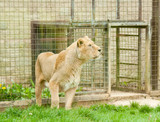 Lioness in captivity poster